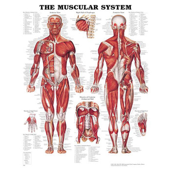 """THE MUSCULAR SYSTEM CHART 20"""" W X 26"""" H, STYRENE PLASTIC"""
