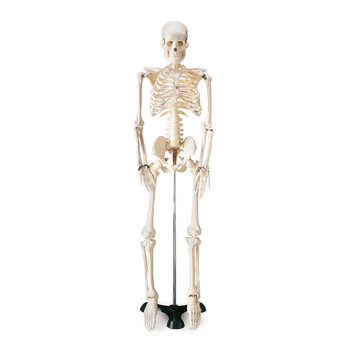 """FLEXIBLE MR. THRIFTY SKELETON WITH SPINAL NERVES, 33 1/2"""" TALL"""