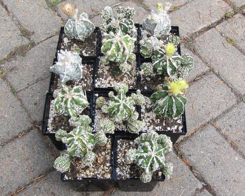 Astropytum hybrids