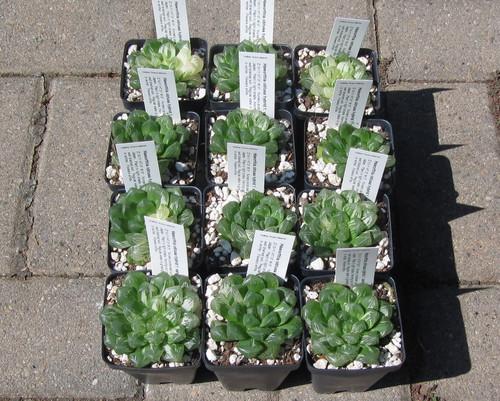 Haworthia obtusa variegated