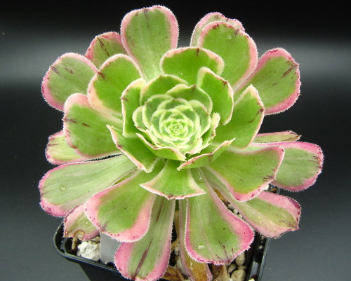 Aeonium 'Sunburst'