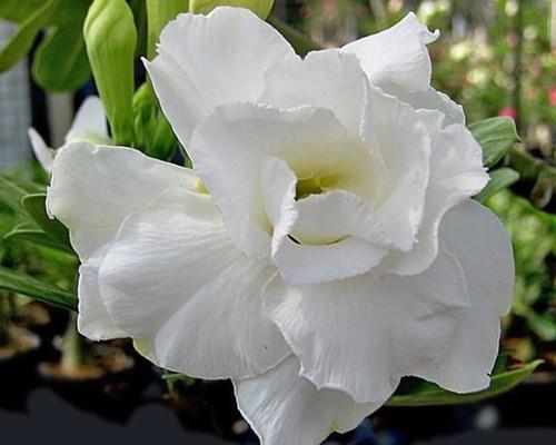 Adenium obesum Double White