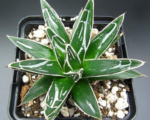 Agave victoria-reginae ssp. swobodae