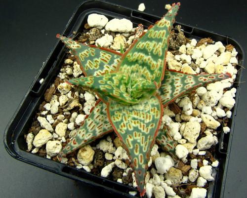 Aloe 'Warrse'