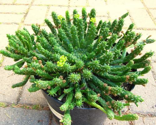 Euphorbia muirii