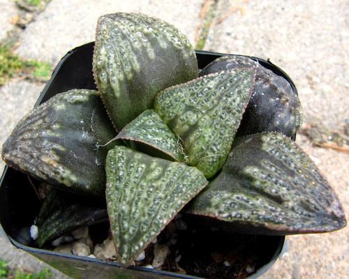 Haworthia hybrid 'Kishi'
