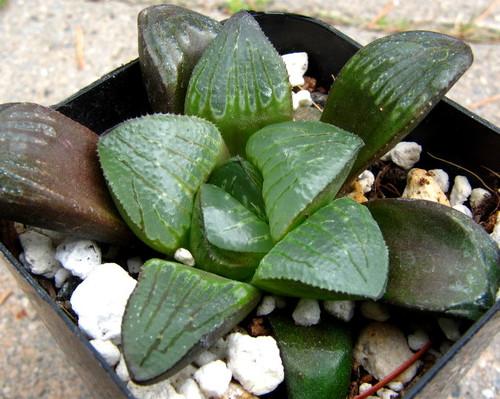 Haworthia hybrid 'Silver Mutica'