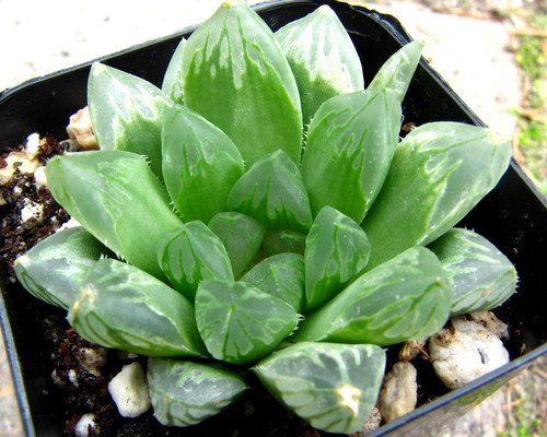 Haworthia obtusa hybrid 'Mori'