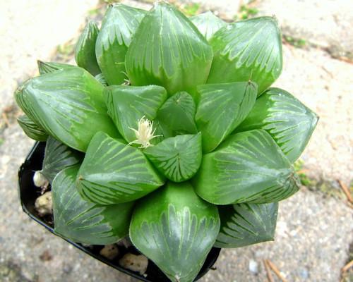 Haworthia obtusa hybrid 'Tianjin'