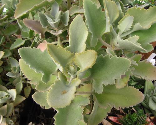 Kalanchoe beharensis (Cutting)
