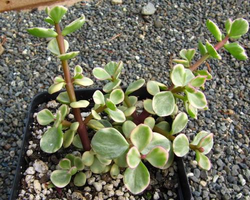 Portulacaria afra f .variegata