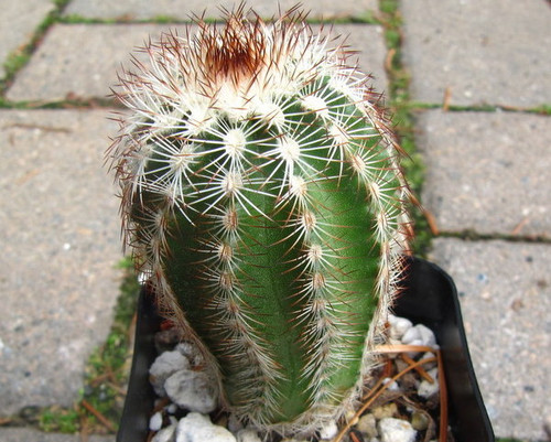Echinocereus reichenbachii ssp. caespitosus