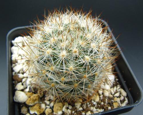 Escobaria dasycantha ssp. chaffeyi