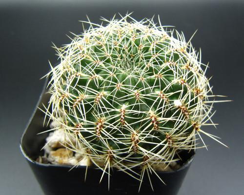 Sulcorebutia vasqueziana var. albispina