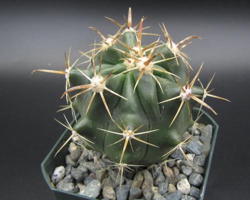 Ferocactus peninsulae var. viscainensis