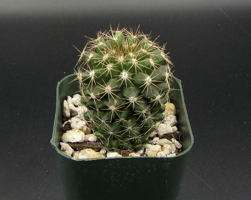 Copiapoa humilis ssp. 'martima'
