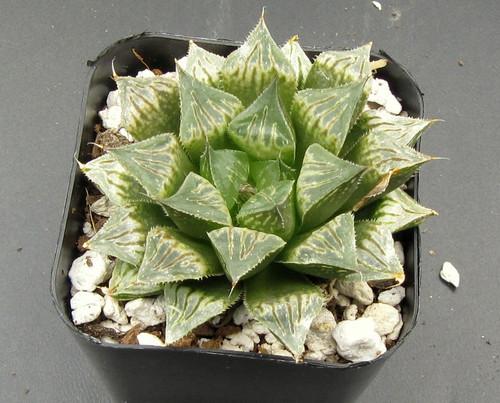 Haworthia hyb 'Star' N243-A