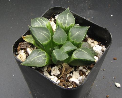 Haworthia hyb 'Yukake' N172-B