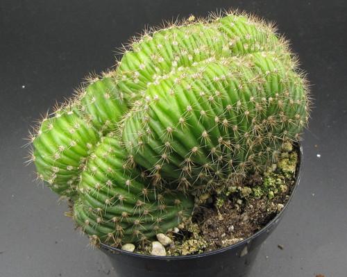Echinopsis species minima cristata