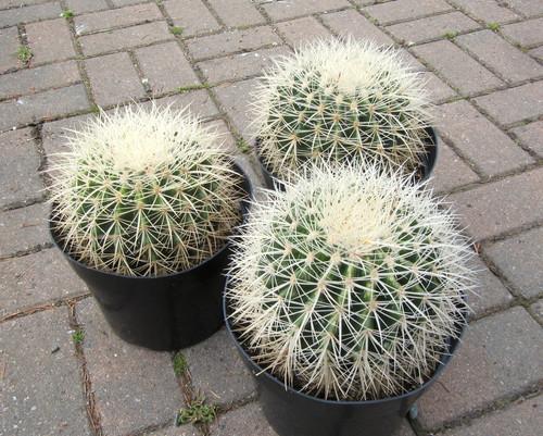 """Echinocactus Grusonii var Albispinus 8"""""""