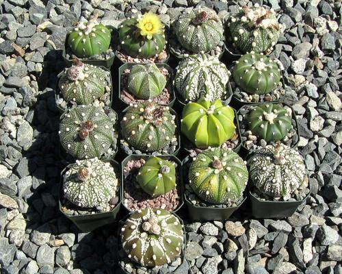 Astrophytum Hybrid