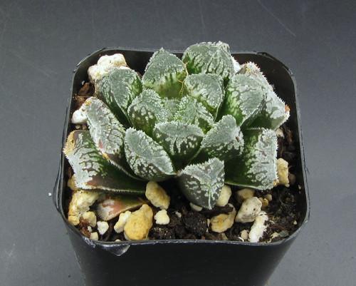 Haworthia hybrid 'Yukiusagi' N122-C