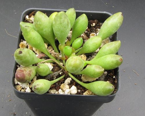 Adromischus clavifolius sp.