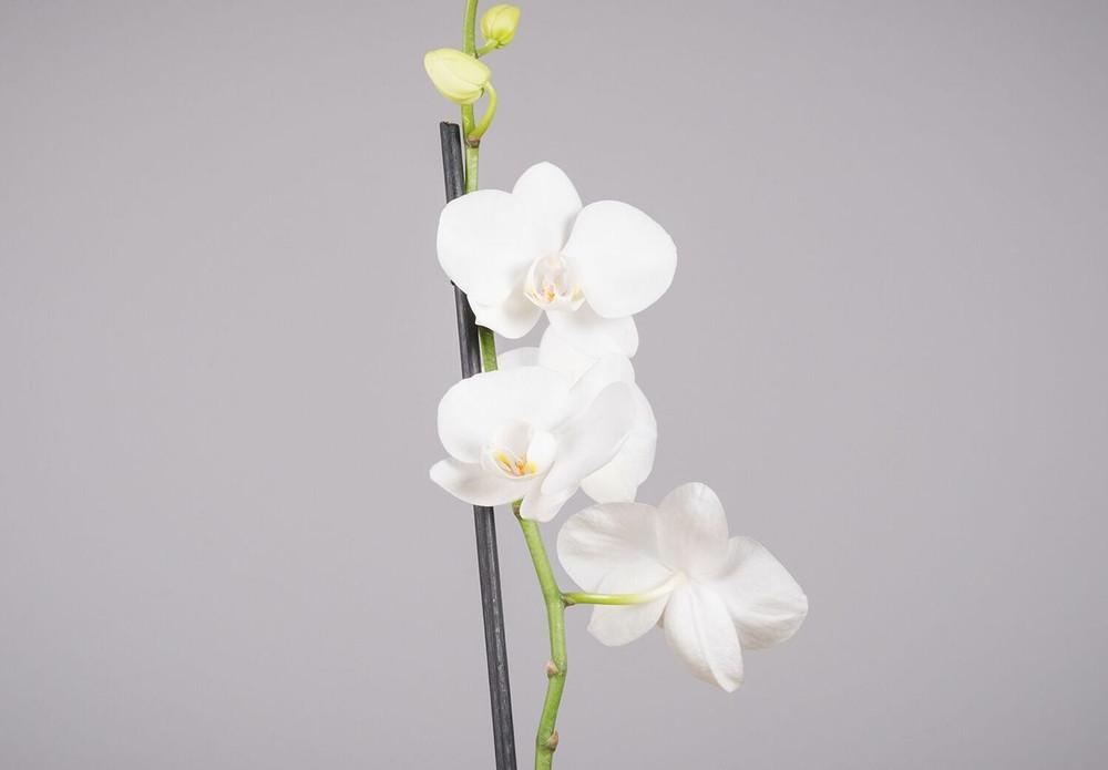 Phalaenopsis Orchid - Thank You, Birthday, Anniversary,  Sympathy, Condolence