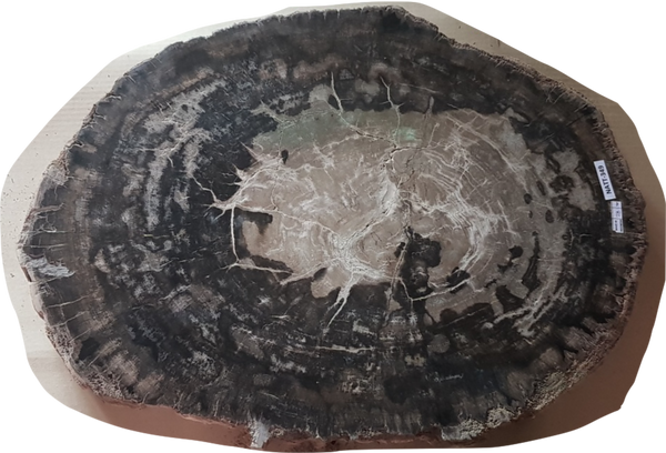 Petrified Wood - Table Top only