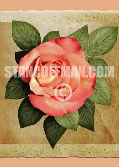 Pink Rose with Leaves on Parchment Paper (Digital Download)