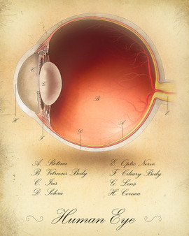 Normal Eye Cross-Section Illustration