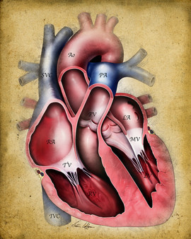 Normal Heart Cross-Section Illustration