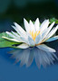 White Water Lily with Reflection on Still Pond (Digital Download)
