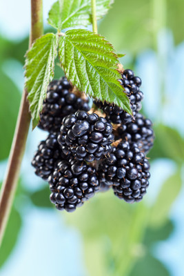 Wild Blackberry is a low maintenance bush perfect for any area.