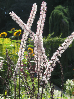 Black Cohosh blooms sprout for three weeks; from June thru September.
