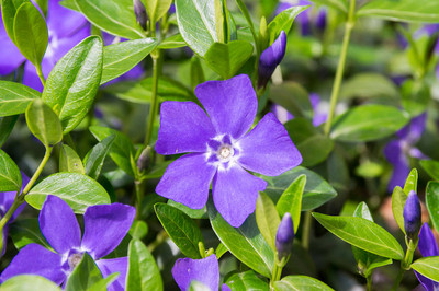 Creeping Myrtle is a low maintenance ground fine that has vibrant purple foliage.