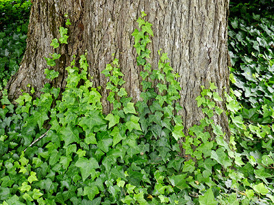 Live English Ivy growing up a tree