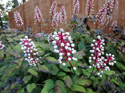 Doll's Eye plants are a fast growing plant that will look amazing anywhere.