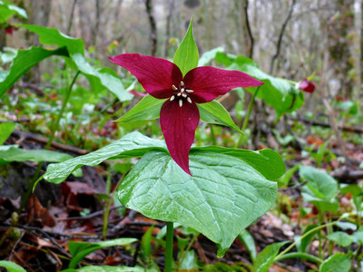 Red Trillium in bloom add a beautiful dark red color to any landscape.
