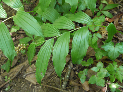 Soloman Seal Plant Leaf