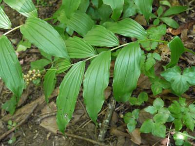 Solomon Seal Plant Leaf has gorgeous green foliage.