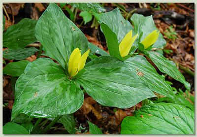 Yellow Trillium are fast growing and add a gorgeous pop of yellow to any flower bed.