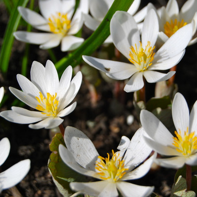 Bloodroot plants in full bloom have beautiful yellow and white foliage.