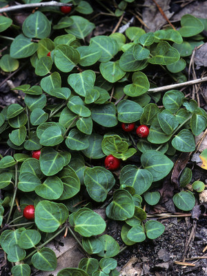 Partridgeberry vines are a fast growing ground vine that has little red berries,