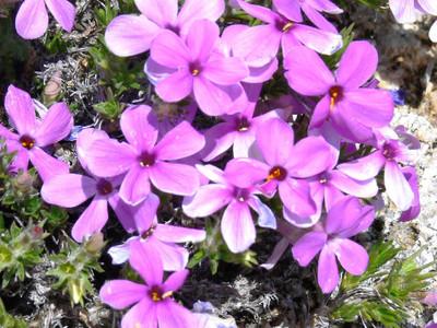 Creeping Purple Phlox has a vibrant blue/purple color.
