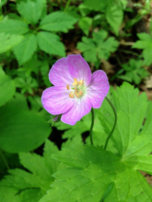 Wild Geranium Flower in bloom
