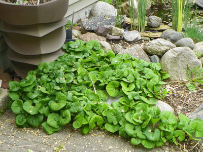 Wild ginger growing looks amazing anywhere especially along sidewalks and driveways.
