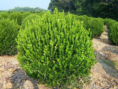 American Boxwood bush is a very low maintenance bush.