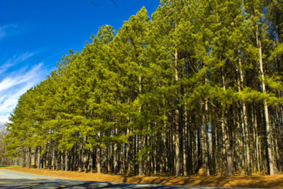 Loblolly Pine are excellent for  borders or windrows.