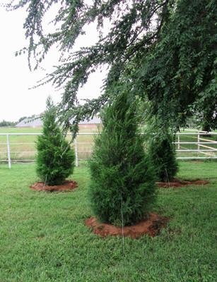 Red Cedar Tree
